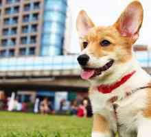 The corgi dog breed is at risk of dying out
