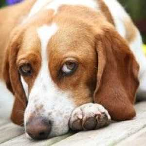 Beagle temperament – lovable & smart, quite possibly a perfect match