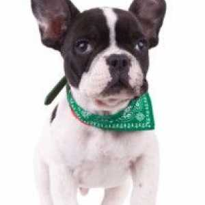 French bulldog temperament – do you know what to expect?